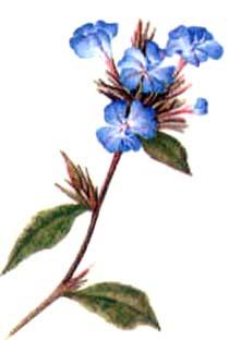 ceratostigma-willmottiana